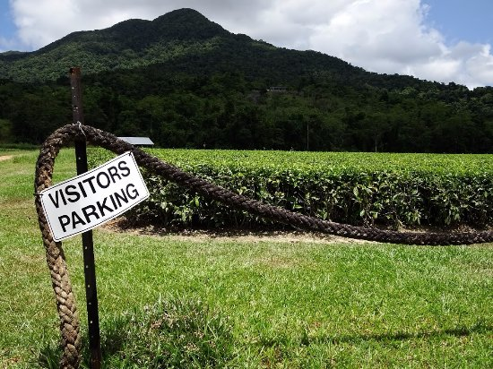 Daintree, Австралия: Small parking lot next to fields of tea bushes