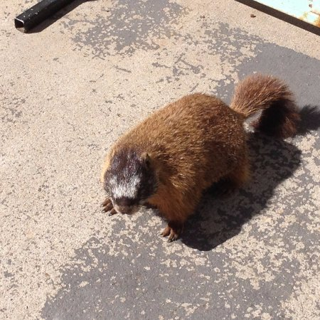 Rock Springs, Вайоминг: Yellow bellied marmots come over to see if we'll give them some of the fish food we are throwing