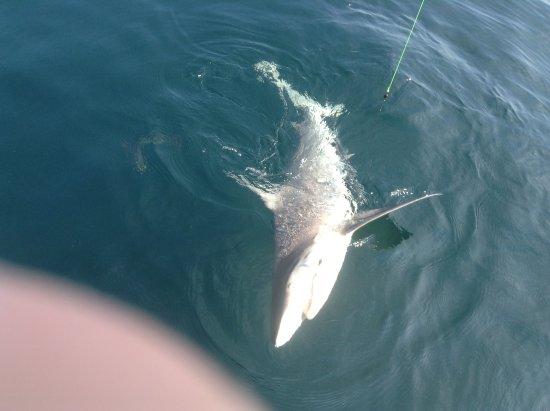 Captain Hank Charters: We do shark trips also