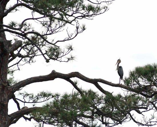 Saint Cloud, فلوريدا: Big Blue Heron setting on tree limb.