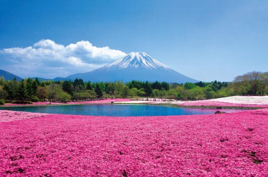 Shiba Sakura and Mt. Fuji 1-Day Bus...