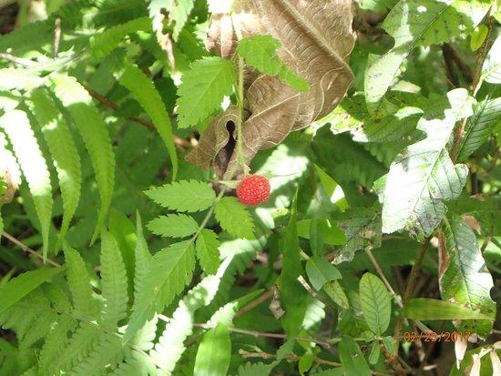 Makawao, HI: Wild raspberry.
