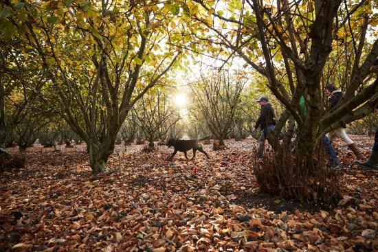 Manjimup, Australia: Hunting for truffles in our truffle orchard