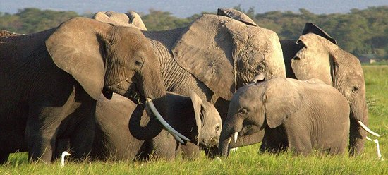 Amboseli National Park, Kenya: Elephants in the swamp. Game Drive with Best Camping Tours and Safaris