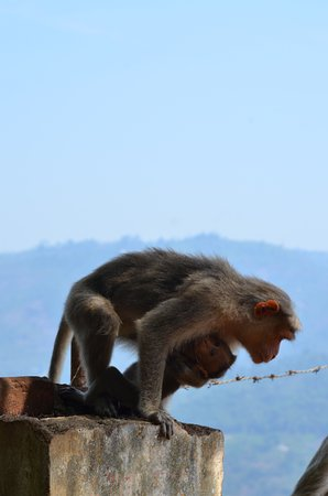 Coonoor, India: One of the many monkeys
