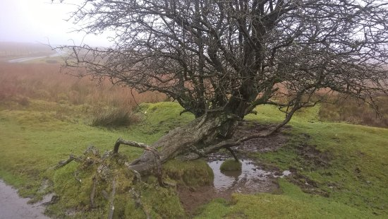 Church Stretton, UK: Fallen tree