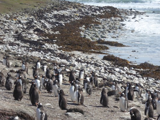 East Falkland, Falklandsøyene: Lower half on the Elephant Beach Penguin Colony