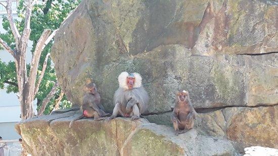 Zoologischer Garten (Berlin Zoo): Baboons
