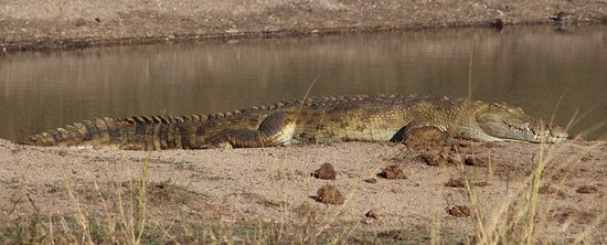 Hazyview, South Africa: Camouflaged crocodile