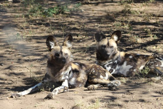 Hazyview, South Africa: Resting hyenas