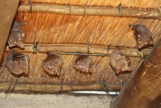 Hazyview, Afrika Selatan: Bats in the belfry (?)