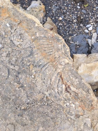 Denison, TX: Fossil impressions