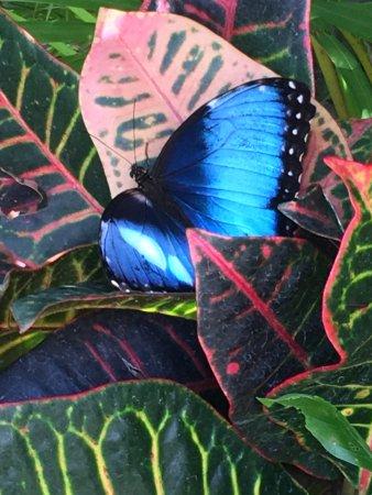San Antonio De Belen, Costa Rica: Blue morpho butterfly by the pool