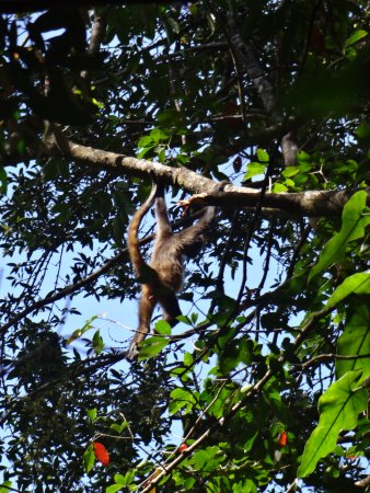 Gulf of Papagayo, Costa Rica: Spider monkeys in the trees of the rainforest at Rincon.
