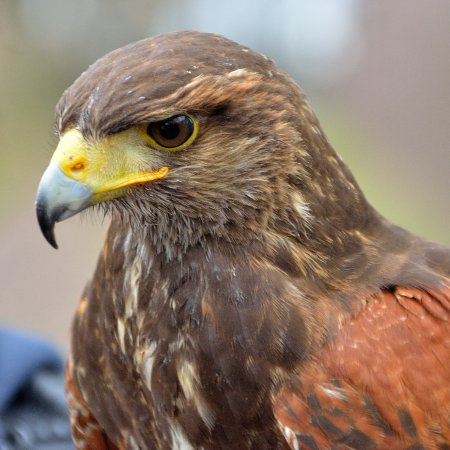 Northwich, UK: Close up of the Harris Hawk