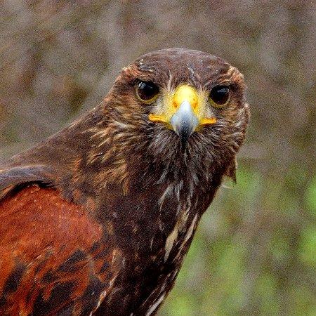 Northwich, UK: Haeeis Hawk watching you