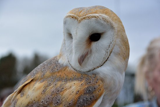 Northwich, UK: A beautiful Barn Owl