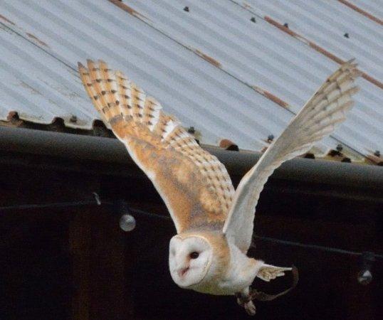 Northwich, UK: Barn Owl in flight
