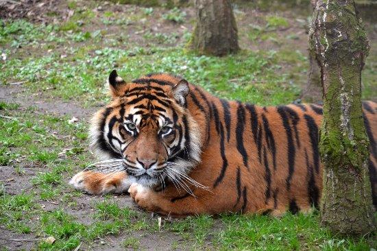 zoo de la fl che tigre de sumatra picture of zoo de la fleche la fleche tripadvisor. Black Bedroom Furniture Sets. Home Design Ideas