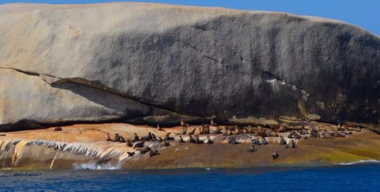 Cowes, Australien: Seals passing the time on one of the Prom Islands