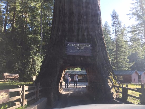 Легджетт, Калифорния: Chandelier Tree, Leggett, CA