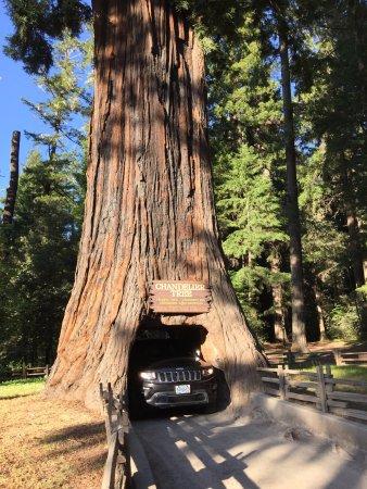 Chandelier Drive Through Tree Leggett Ca