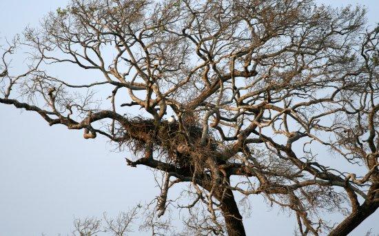 Habarana, Sri Lanka: Un nid d'aigles