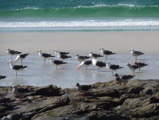 West Falkland, Νήσοι Φώκλαντ: Gulls