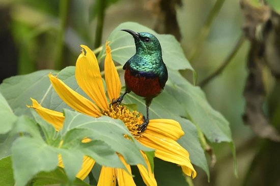The Buhoma Community Rest Camp: Scarlett sunbird from the terasse