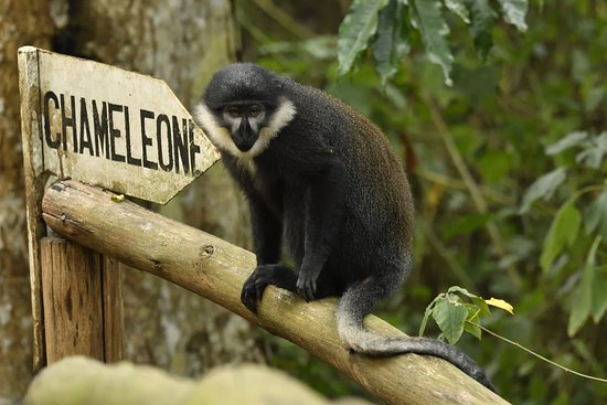 The Buhoma Community Rest Camp: Black and white colobus in the camp