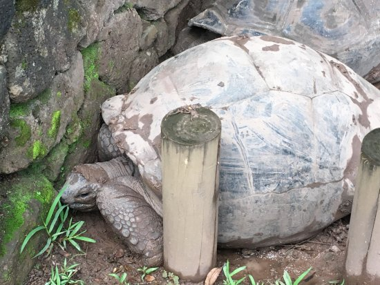 Chamarel: turtles in the mud