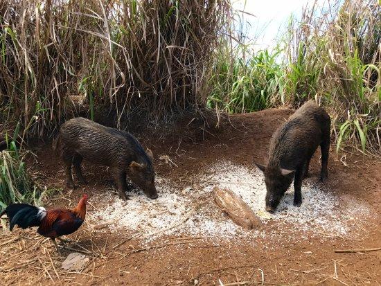 Wailua Falls : wild boar and chickens