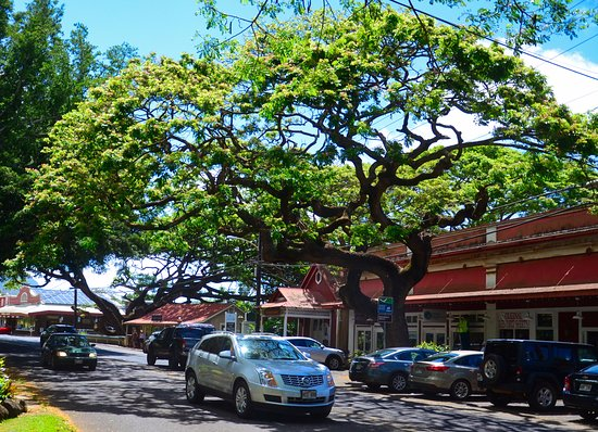 Koloa, HI: Giant monkeypod tree planted in 1925 by store owner Howard Yamamoto.