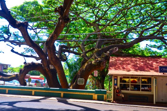 Koloa, HI: Another view of the monkeypod tree dating back to 1925.