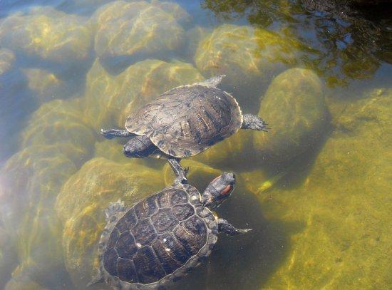 Calabasas, CA: Lots of turtles