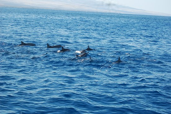 Waikoloa, Hawaï : Part of a large pod of dolphins.