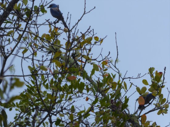 Eustis, FL: What's better than 1 scrub jay?..