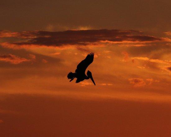 Baja Outdoor Activities (BOA): Brown Pelican at sunset