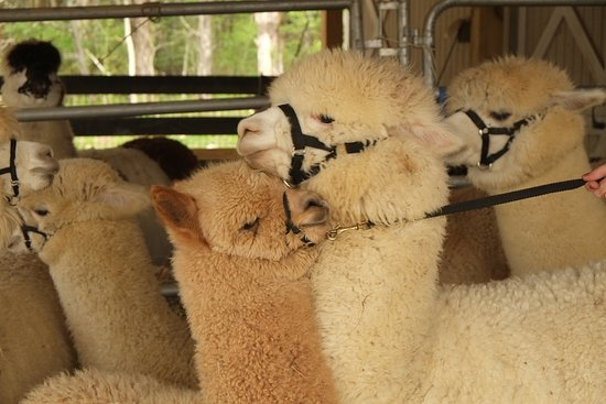 Alpacas Are Gentle, Awesome Animals. They Love Our Tourist