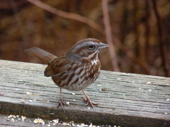 Langley City, Canada: Sparrow