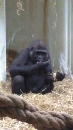 Blackpool Zoo : The gorilla enclosure gave us the chance to watch them from up close
