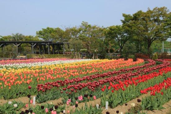 Izumi, Japonya: 2016.04.16撮影 チューリップ畑