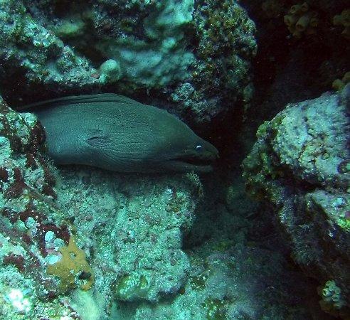 Panama Dive Center: Moray eel