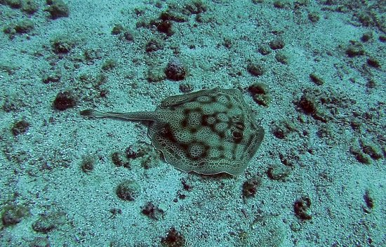 Panama Dive Center: Stingray