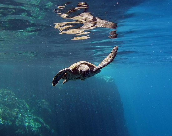 Panama Dive Center: Turtle while snorkeling