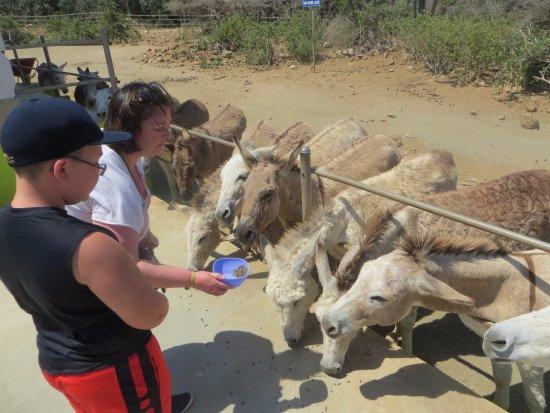 Santa Cruz, Aruba: Feeding Donkeys