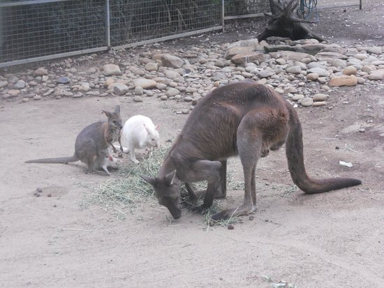 Blacktown, Australien: kangaroo joing for a meal