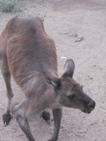 Blacktown, Avustralya: huge kangaroo