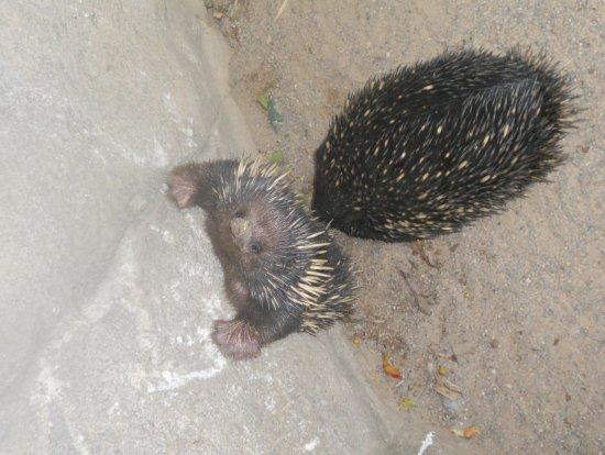 Blacktown, Avustralya: hedgehogs