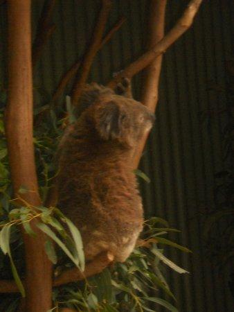 Blacktown, Australien: Eucalyptus tree